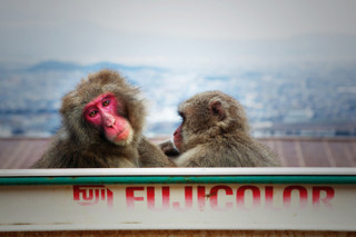 Japanese Monkeys | Sakana Media
